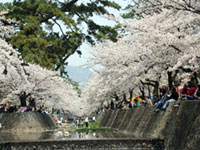 The Cherry Blossoms of Shukugawa Riverside Green Space