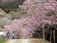 かみかわ桜の山・桜華園の桜の写真