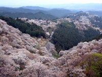 The Cherry Blossoms of Mt. Yoshino