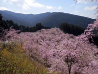 The Weeping Cherry Blossoms of Takami-no-Sato