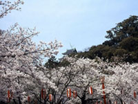The Cherry Blossoms of Wakayama Castle