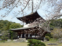 The Cherry Blossoms of Negoro-ji Temple
