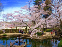 The Cherry Blossoms of Utsubuki Park