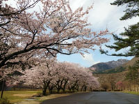 Ten Thousands of Cherry Trees in Mt. Senjosan