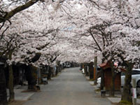 The Cherry Blossoms of Gaisen