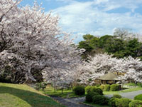 The Cherry Blossoms of Tokiwa Park