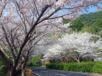 Thousands of Cherry Blossoms in Gojo