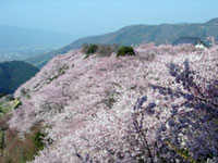 The Cherry Blossoms of Yaoyorozu-no-kami-no-goten