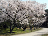 The Cherry Blossoms of Ritsurin Park