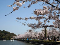 The Cherry Blossoms of Kikaku Park