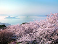 The Cherry Blossoms of Mt. Shiude