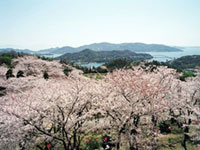 The Cherry Blossoms of Hirakiyama Park