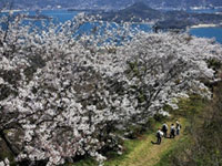 Three Thousands of Cherry Blossoms in Mt. Sekizen