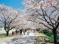 The Cherry Blossoms of Kagamino Park