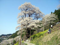 The Cherry Blossoms of Hyotan Cherry Park