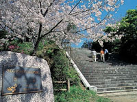 The Cherry Blossoms of Nishi Park