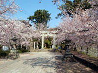 The Cherry Blossoms of Omura Park