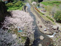 The Cherry Blossoms of Tachibana Park