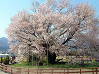 The Ozakura Cherry Blossoms of Isshingyo