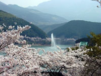 The Cherry Blossoms of Ichifusa Dam Lake