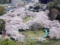 The Cherry Blossoms of Mochio Park