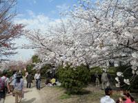 元茨木川緑地の桜