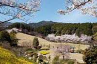 葛城山麓公園の桜の写真