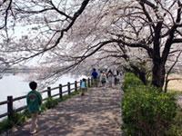 砂沼・観桜苑の桜
