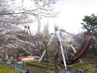 西武園ゆうえんちの桜
