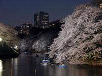 The Cherry Blossoms of Chidori-ga-fuchi Moat
