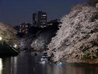 千鳥ヶ淵緑道の桜の写真