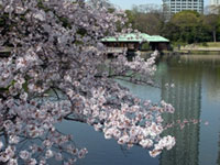 The Cherry Blossoms of Hama-rikyu Gardens