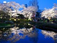 六本木ヒルズ 毛利庭園・六本木さくら坂の桜