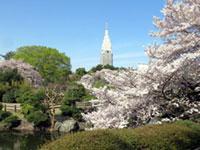 新宿御苑の桜の写真