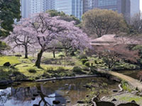 The Cherry Blossoms of Koishikawa Korakuen Gardens