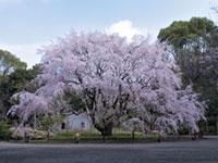 六義園の桜の写真