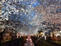 目黒川の桜の写真