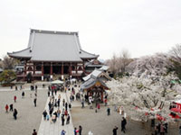 The Cherry Blossoms of Ikegami Honmon-ji Temple