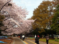 The Cherry Blossoms of Komazawa Olympic Park