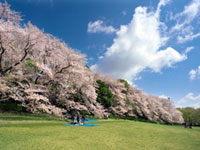 The Cherry Blossoms of Kinuta Park