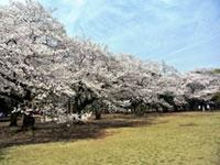 代々木公園の桜の写真