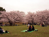 The Cherry Blossoms of Hikarigaoka Park