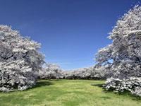 国営昭和記念公園の桜の写真