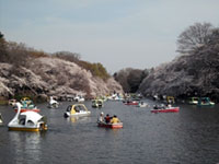 The Cherry Blossoms of Inokashira Park