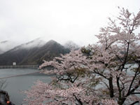 The Cherry Blossoms of Lake Okutama