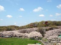 こどもの国の桜