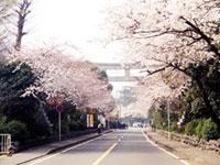 寒川神社参道の桜