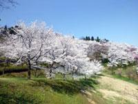 城ヶ山公園の桜