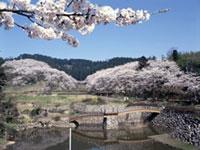 城山公園(富山県)の桜