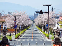 武田通りの桜